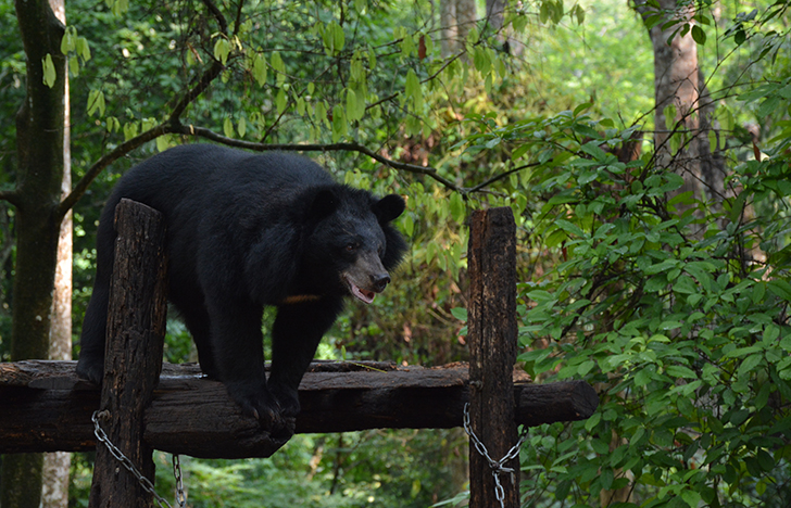 Free the Bears rescues bears from bile farms.